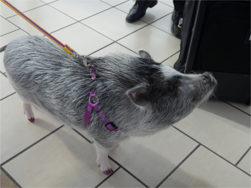 Emotional Support Pig on a Leash