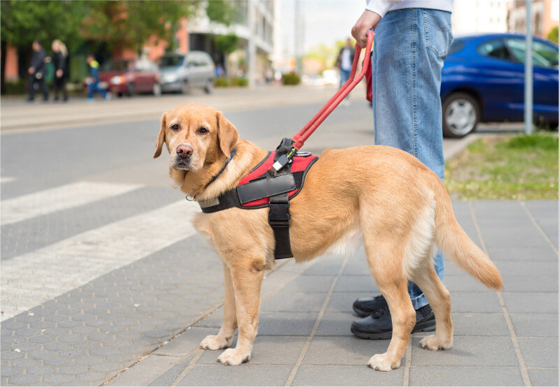 Service Dog on a Leash Leading a Blind Person